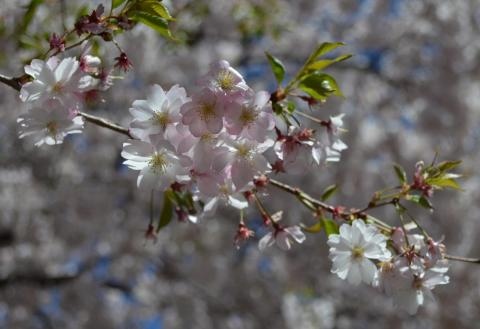 Detail of Cherry blossoms in Wooster Square, New Haven. Photo by Ethan Bernard.
