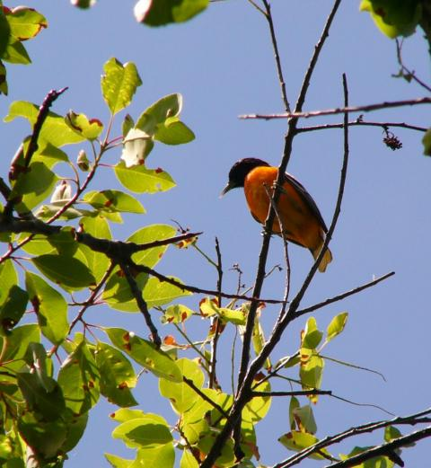 An Orchard Oriole at Sunken Meadow State Park, on the north shore of Long Island. Photo by Ethan Bernard.