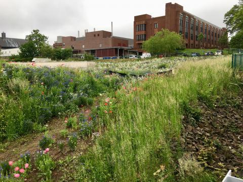 Jeremy Cushman. New wildflower meadow behind Wright Lab.