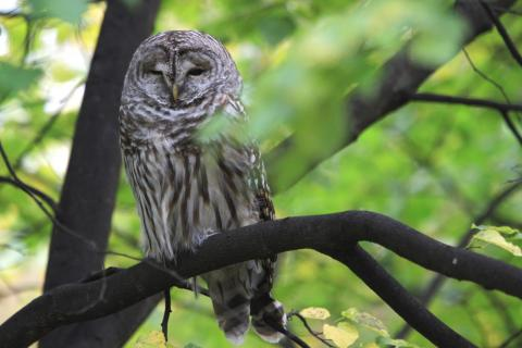 Second Place - Nature at Yale exists - a barred owl on the top of Science Hill near Sloane Physics Lab! Taken by Grace Pan.