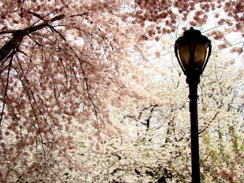 Wooster Square cherry blossoms (photo by Anna Kashkanova)