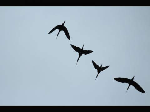 Grace Pan. A formation of Glossy Ibises flying overhead along coastal Connecticut.