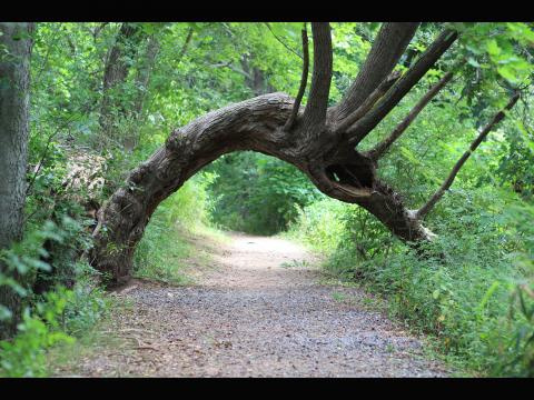 Grace Pan. An almost perfect arch formed by a tree trunk in East Rock Park.